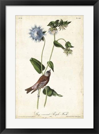 Framed Grey-crowned Purple Finch Print