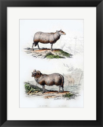 Framed Sheep and Ram Print