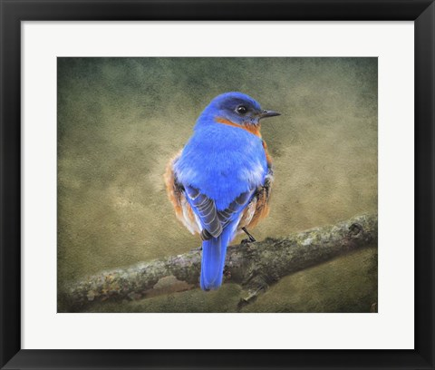 Framed Bluebird Portrait Print