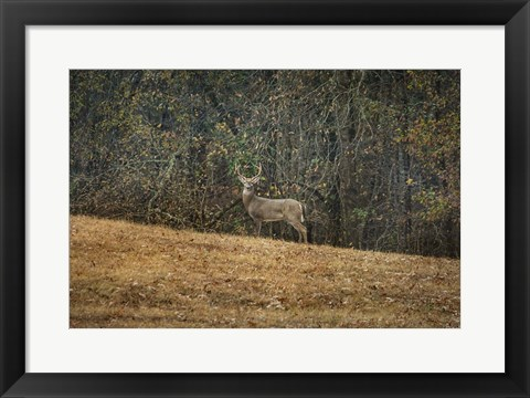 Framed Buck At Pinson Mounds Print