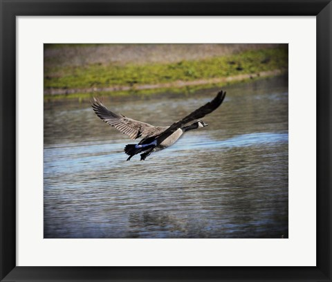 Framed Canadian Goose In Flight 2 Print