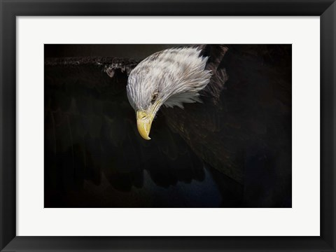 Framed Shadow Hunter Bald Eagle Print