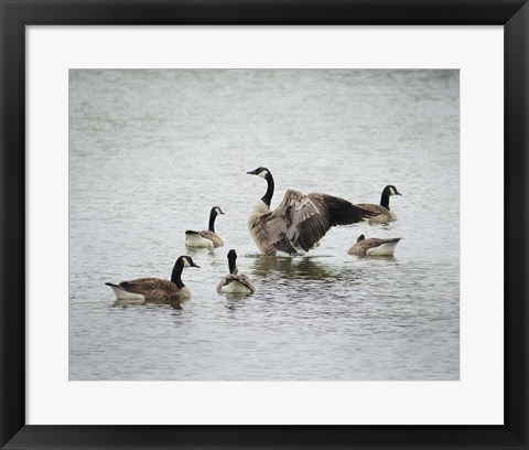 Framed Show Off Canadian Geese Print