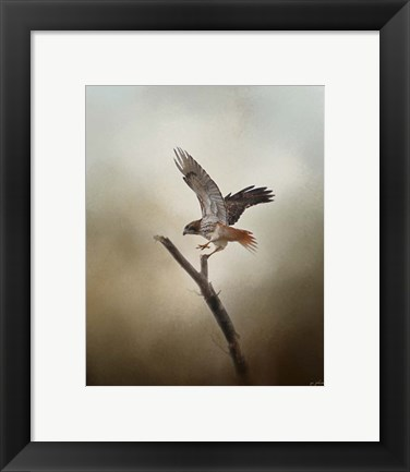 Framed Dance Of The Redtail Print