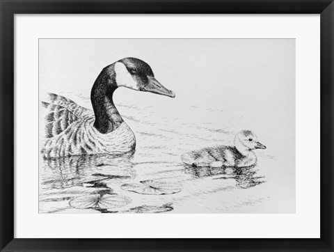 Framed Canada Goose And Baby Print