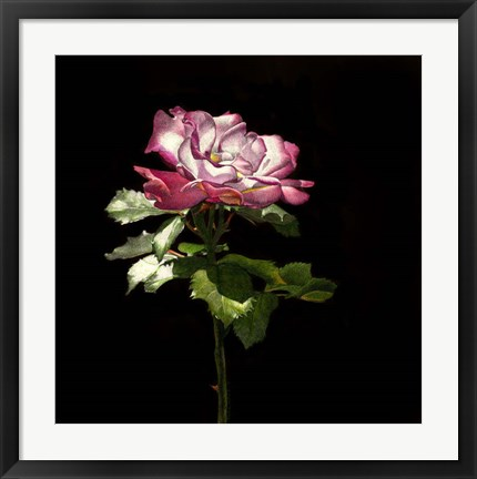 Framed Evening Rose Print