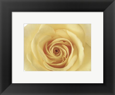 Framed Rose In Bloom Print