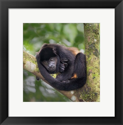 Framed Black Howler Monkey, Sarapiqui, Costa Rica Print