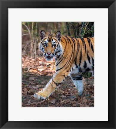 Framed Bengal Tiger, Bandhavgarh National Park, India Print