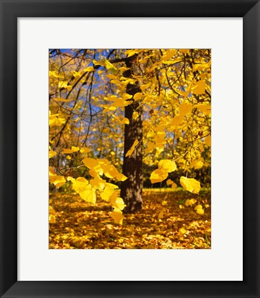Framed Yellow Tree Leaves, Stuttgart, Germany Print