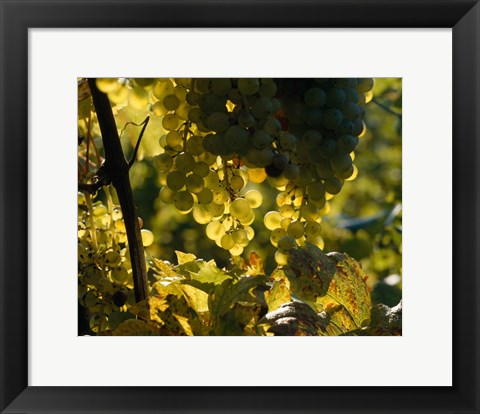 Framed Grape Vines hanging from Trees Print