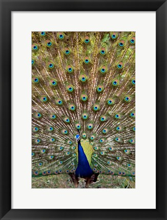 Framed Dancing Peacock, Kanha National Park, Madhya Pradesh, India Print