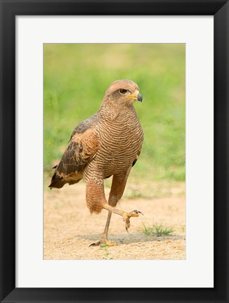 Framed Savanna Hawk, Pantanal Wetlands, Brazil Print