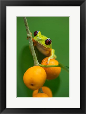 Framed Red-Eyed Tree Frog (Agalychnis callidryas), Tarcoles River, Pacific Coast, Costa Rica Print