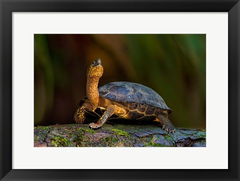 Framed Black Marsh Turtle, Tortuguero, Costa Rica Print