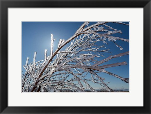 Framed Ice Crystals on tree branches, Iceland Print
