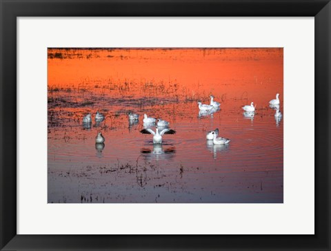 Framed Snow Geese On Water Print