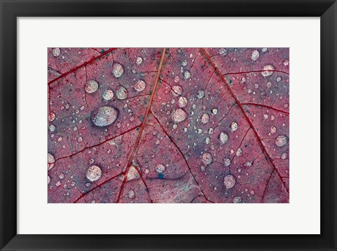 Framed Water Droplets on Maple Leaf Print
