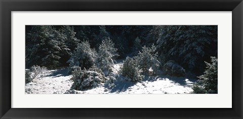 Framed Snow Covered Firs, Provence-Alpes-Cote d'Azur, France Print