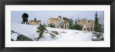 Framed Gray wolves, Massey, Ontario, Canada Print