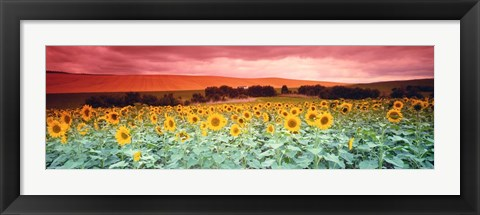 Framed Sunflowers, Corbada, Spain Print