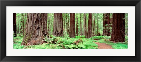 Framed Avenue Of The Giants, Founders Grove, California Print