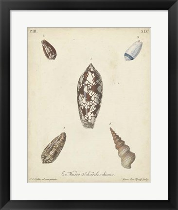 Framed Antique Knorr Shells VII Print