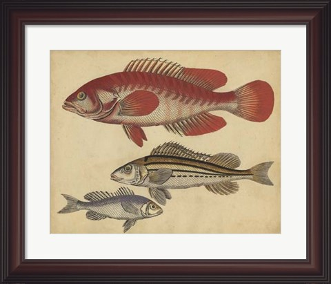 Framed Species of Fish II Print
