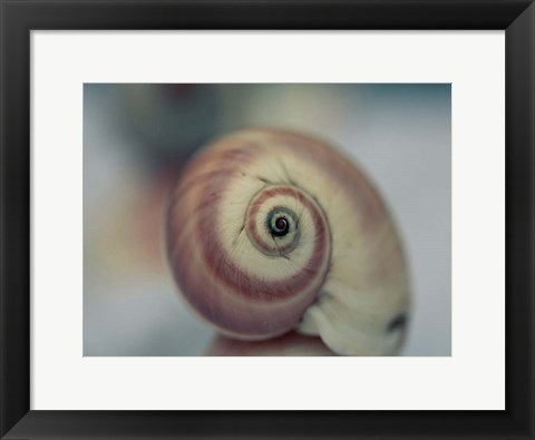 Framed Moon Snail 1 Print
