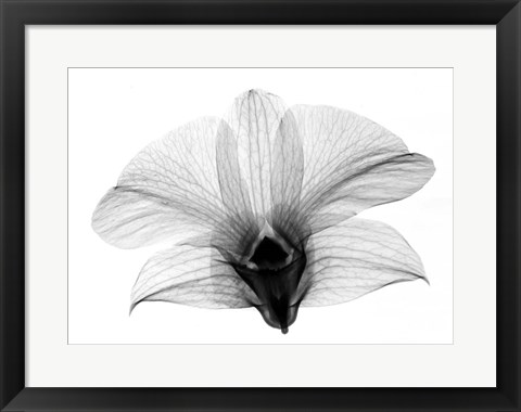 Framed Dendrobium On Back  X-Ray Orchid Print