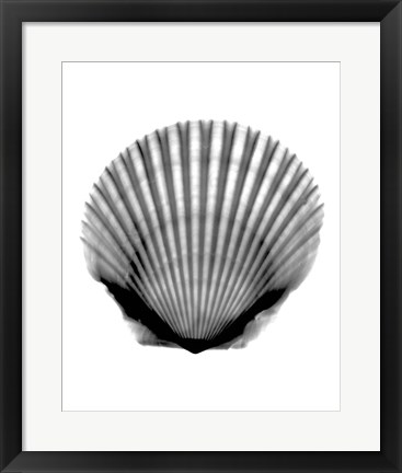 Framed Scallop #3 X-Ray Print