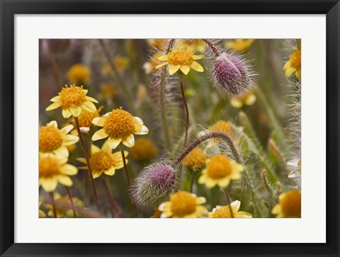 Framed Antelope Valley Wildfowers Print