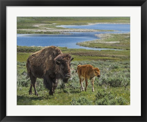 Framed Bison Cow and Calf Print