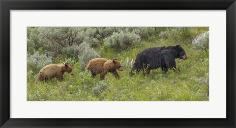 Framed Sow and Cubs Walking Print