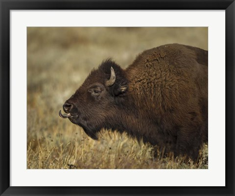 Framed Yellowstone Bison Tongue Out Print