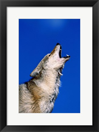 Framed Wolf Howling with Head Back Print