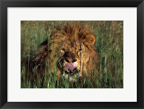 Framed Close Up of Lion Head in Grass Print