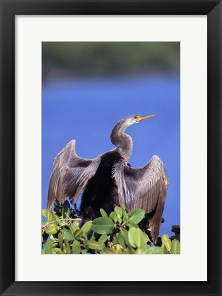Framed Pelican Spreading its Wings Print