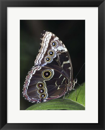 Framed Brown and Black Butterfly Print