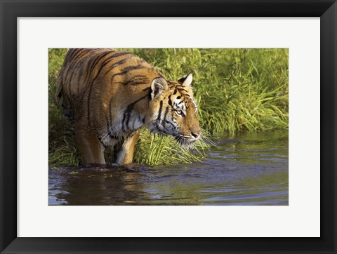 Framed Tiger Stepping into Water Print