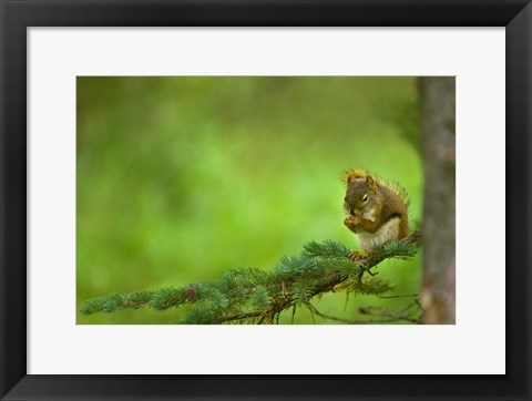 Framed Squirrel Eating Nuts Print