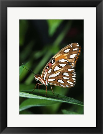 Framed Brown and White Butterfly Print