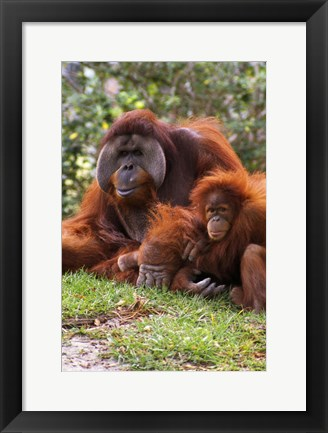 Framed Two Orangutangs in Grass Print