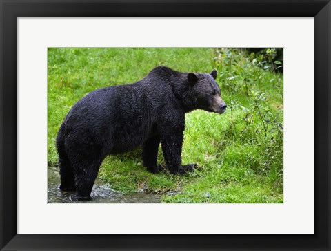 Framed Black Bear Leaving Lake Print