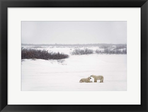 Framed Polar Bears Laying in Snow Print