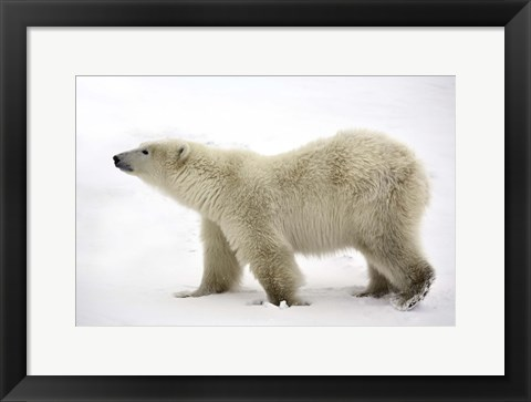 Framed Polar Bear Looking For Food Print