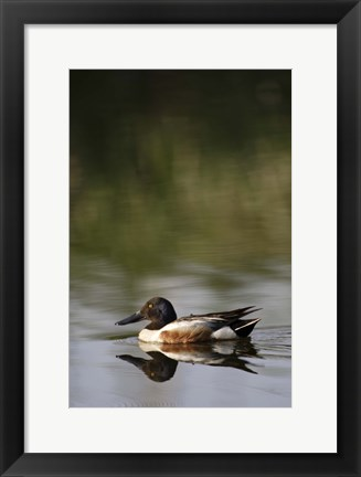 Framed Single Duck in Lake Print