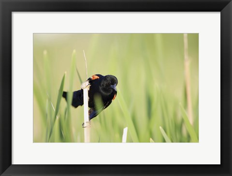 Framed Perched on a Reed Print
