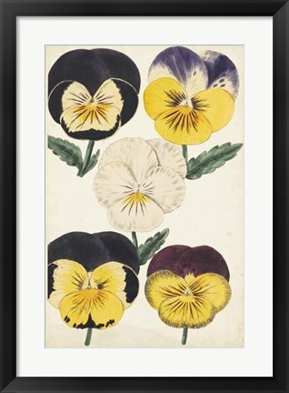 Framed Antique Pansies II Print