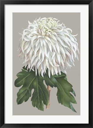 Framed Chrysanthemum on Gray II Print